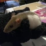Rongeur Rat Biscotte