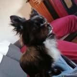 Chien Chihuahua Blacko