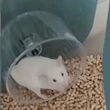 Rongeur Hamster Blancko