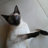 Chat Siamois Bleuet