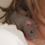 Rongeur Rat Blue