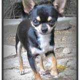 Chien Chihuahua Boby
