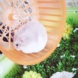 Rongeur Hamster Bonbon