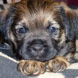 Chien Border Terrier Hastuce