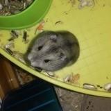 Rongeur Hamster Bouboule