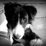 Chien Border Terrier Boule