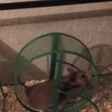 Rongeur Hamster Boule De Poil