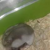 Rongeur Hamster Boulette