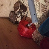 Rongeur Hamster Boully