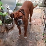 Chien Boxer Lucky