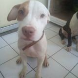 Chien American Staffordshire Terrier Bréka