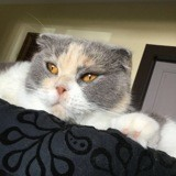 Chat British Shorthair Hermione
