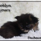 Chat Maine Coon Brooklyne Of Pachacamac