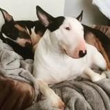 Chien Bull Terrier Lixy