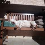 Chien Bull Terrier Luigi