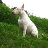 Chien Bull Terrier Brittany