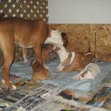 Chien Bull Terrier Bandit