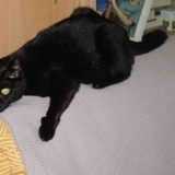 Chat Burmese Chanelle