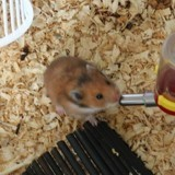 Rongeur Hamster Cacaouette