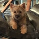 Chien Cairn Terrier Mirabelle