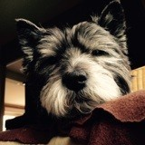 Chien Cairn Terrier Prunelle
