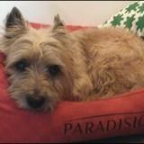 Chien Cairn Terrier Diabolo