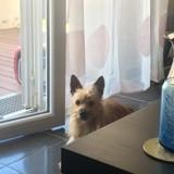 Chien Cairn Terrier Léonard