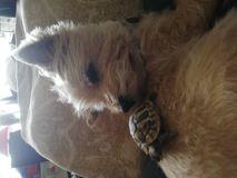Chien Cairn Terrier Chipie