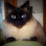 Chat Birman Caline