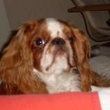 Chien King Charles Spaniel Calinou