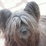 Chien Skye Terrier Calloway