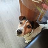 Chien Jack Russell Terrier Caly