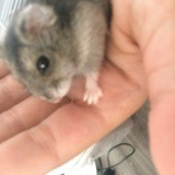 Rongeur Hamster Canaille