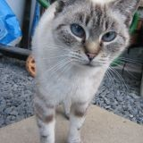 Chat Siamois Canelle