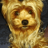 Chien Yorkshire Terrier Cannelle
