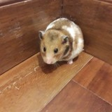Rongeur Hamster Cannelle