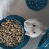 Rongeur Hamster Cappuccino
