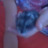 Rongeur Hamster Capucine