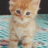 Chat Gouttière Caramel