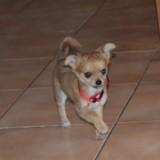 Chien Chihuahua Caramel