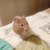 Rongeur Hamster Cassie