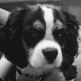 Chien Cavalier King Charles Spaniel Muse