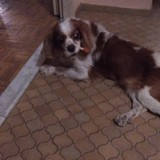 Chien Cavalier King Charles Spaniel Charly
