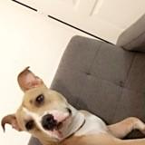 Chien Staffordshire Bull Terrier Chanel