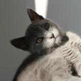 Chat Chartreux Hiro