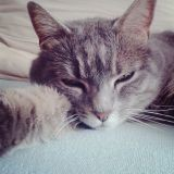 Chat Chartreux Jade