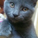 Chat Chartreux Juno