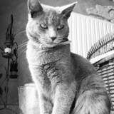 Chat Chartreux Lila