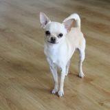 Chien Chihuahua Simba