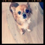 Chien Chihuahua Dina